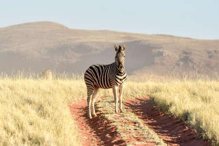 zebra: Cebra en el paisaje del desierto de la reserva natural de NamibRand en Namibia.
