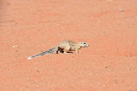 sand: African Ground Squirrel  along the desert landscape in the NamibRand Nature Reserve in Namibia.