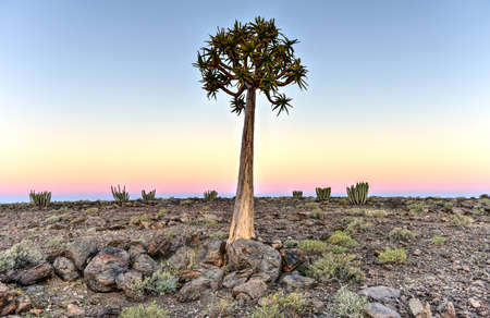 river: Quiver Tree around the Fish River Canyon, Namibia.