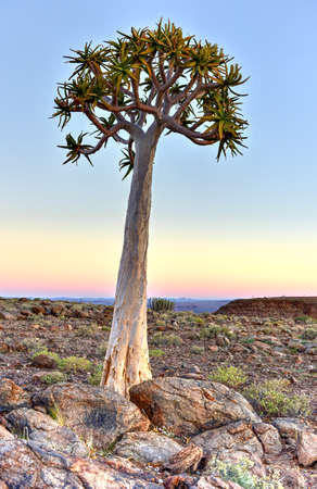 quiver: Quiver Tree around the Fish River Canyon, Namibia.