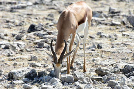 springbok: Springbok in the wild, in Etosha National Park, Namibia
