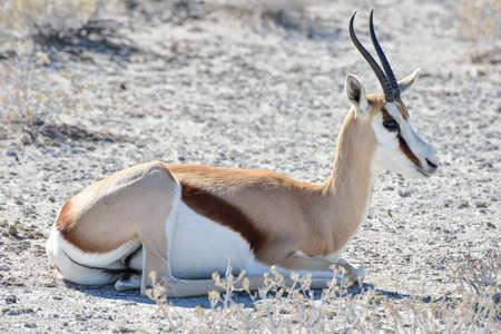 antidorcas: Springbok in the wild, in Etosha National Park, Namibia