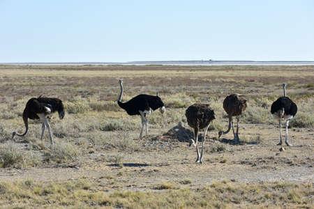 antidorcas: Ostrich, on the plains, Etosha National Park, Namibia