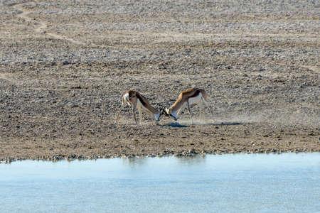 springbok: Springbok in the plains of Etosha National Park, Namibia