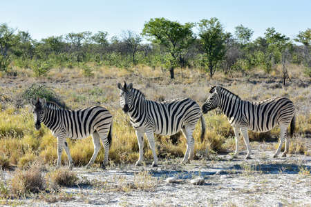 south park: Zebra at a watering hole in Etosha National Park, Namibia Stock Photo