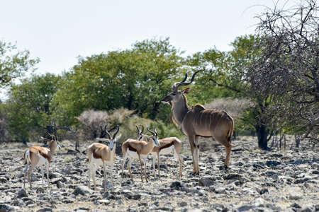 antidorcas: Springbok and kudu in the wild, in Etosha National Park, Namibia Stock Photo