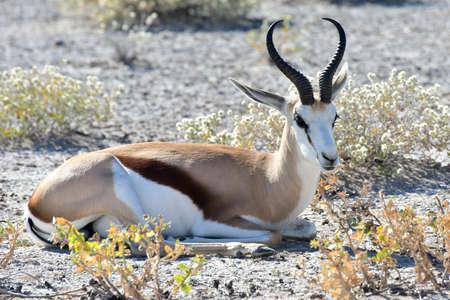 Springbok in the wild, in Etosha National Park, Namibia