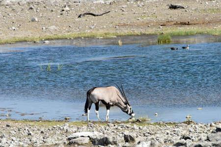 Oryx at a watering hole in Etosha National Park, Namibia 版權商用圖片