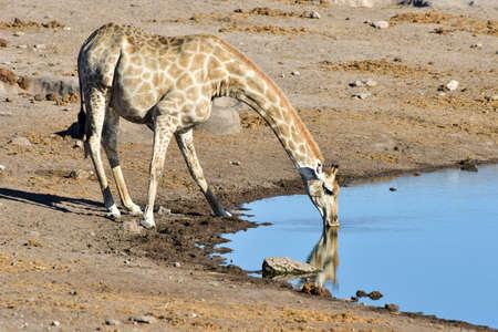 Giraffe drinking along a waterhole in the wild in Etosha National Park, Namibia, Africa.