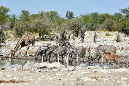 the water hole: Zebra and giraffe drinking at a water hole in the wild in Etosha National Park, Namibia, Africa.