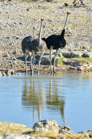 waterhole: Ostrich along a waterhole in the wild in Etosha National Park, Namibia, Africa. Stock Photo