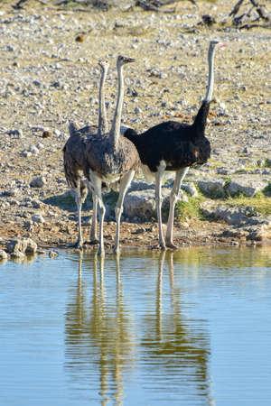 pozo de agua: Avestruz lo largo de un pozo de agua en el medio silvestre en el Parque Nacional de Etosha, Namibia, África.