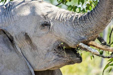 Elephant in the wild in Etosha National Park, Namibia, Africa.