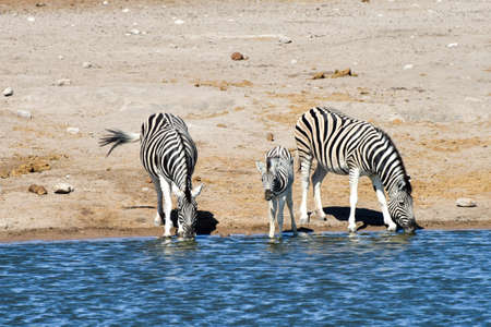 the water hole: Zebras drinking at a water hole in the wild in Etosha National Park, Namibia, Africa. Stock Photo