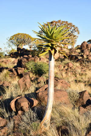 quiver: Quiver Tree Forest outside of Keetmanshoop, Namibia. Stock Photo