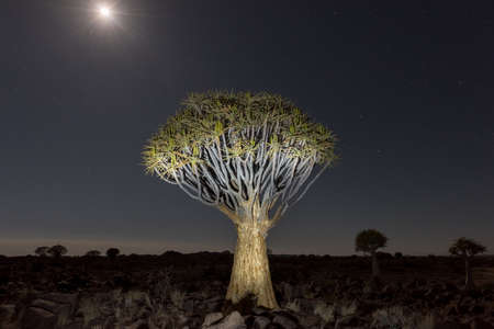 dichotoma: Quiver Tree Forest outside of Keetmanshoop, Namibia at night on a full moon with stars in the sky.