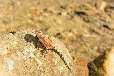 petrified: Mimetic lizard on petrified wood at Petrified Forest National Park, near Khorixas, Damaraland, Namibia.