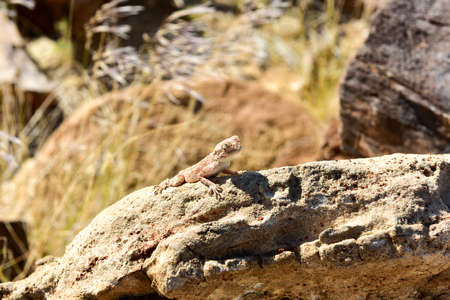 mimetism: Mimetic lizard on petrified wood at Petrified Forest National Park, near Khorixas, Damaraland, Namibia.
