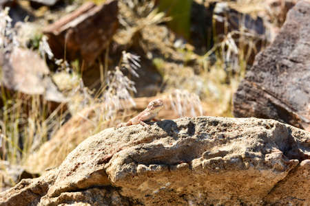 Mimetic lizard on petrified wood at Petrified Forest National Park, near Khorixas, Damaraland, Namibia.