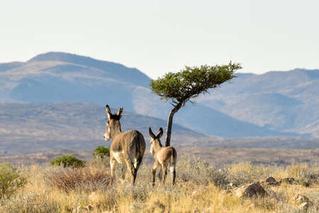 An adult and young donkey walking away into the fields of Erongo, Namibia in Africa. Imagens