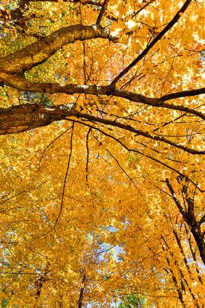 Adirondacks Peak Fall Foliage alongside Monument Falls, New York. Bright yellow leaves on trees.