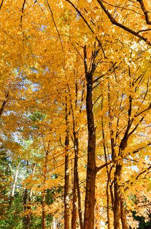 placid water: Adirondacks Peak Fall Foliage alongside Monument Falls, New York. Bright yellow leaves on trees.