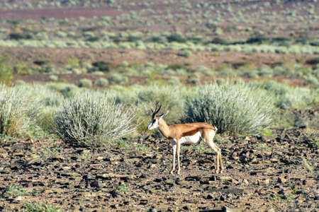 springbok: Springbok in the Fish River Canyon in Namibia, Africa. It is the largest canyon in Africa.