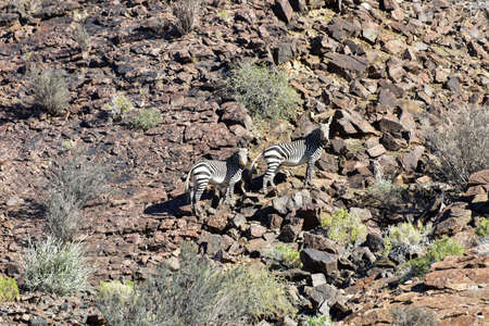 dichotoma: Desert Zebra in the Fish River Canyon in Namibia, Africa. It is the largest canyon in Africa.