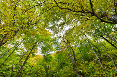 notch: Tree canopy in Smugglers Notch, Vermont. Stock Photo