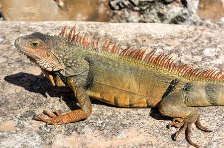 Iguana resting along the walls of El Morro   in San Juan, Puerto Rico Redakční