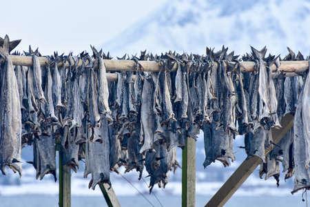 stockfish: Stockfish (cod) in winter time in Gimsoy, Lofoten Islands, Norway.