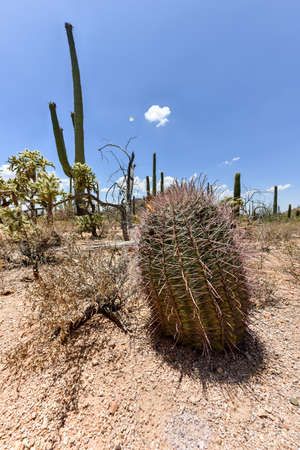 massive: Massive cactus at Saguaro National Park in Arizona.