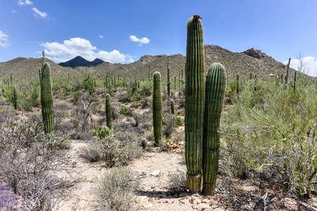 Massive cactus at Saguaro National Park in Arizona.