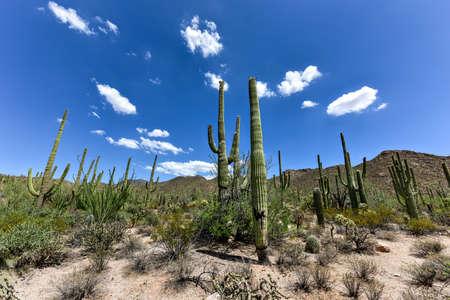 cholla: Massive cactus at Saguaro National Park in Arizona.