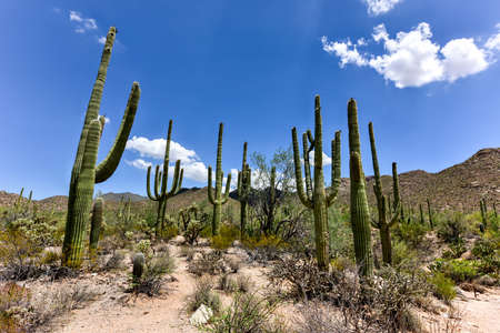 Massive cactus at Saguaro National Park in Arizona.