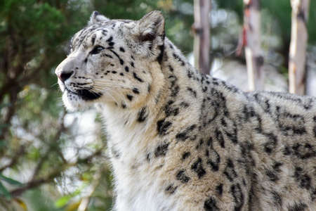 The snow leopard or ounce is a large cat native to the mountain ranges of Central and South Asia.