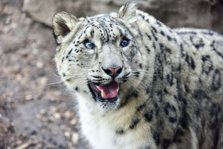 ounce: The snow leopard or ounce is a large cat native to the mountain ranges of Central and South Asia.
