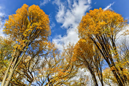 canopies: Tree canopies in Central Park in New York City in the Autumn.