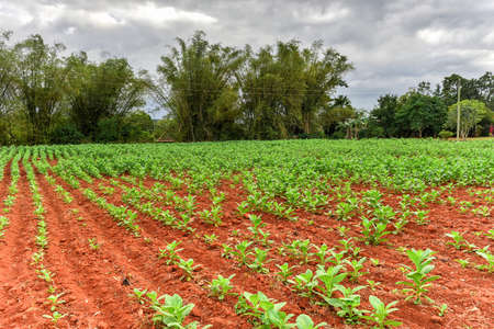 Tobacco plantation in the Vinales valley, north of Cuba.