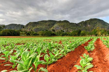 Tobacco plantation in the Vinales valley, north of Cuba.