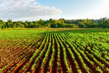 quite: Tobacco field in the Vinales valley, north of Cuba.