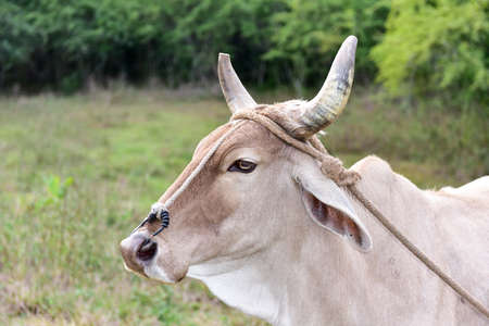 pinar: Cuban Cow in the field in Vinales, Cuba. Stock Photo