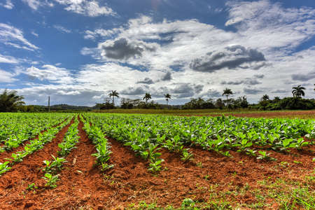 Tobacco field in the Vinales valley, north of Cuba.