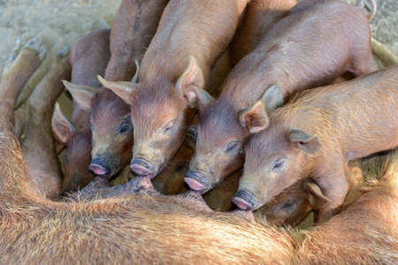 Little piglets suckling their mother in Vinales, Cuba. Stock Photo