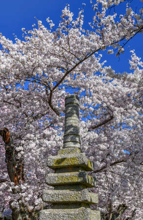Japanese Pagoda and spring cherry blossoms around the Tidal Basin, Washington, DC. The statue was a gift by the mayor of Yokohama, Japan in 1957.
