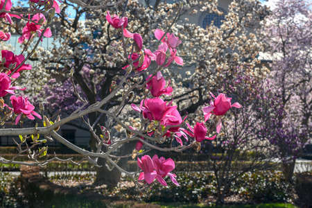 Blossoming trees at the Brooklyn Botanical Garden in Brooklyn, New York