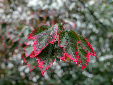 Wet green leaves turning to red in autumn in Vancouver, Canada. 版權商用圖片