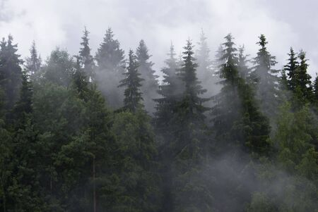 shrouds: Fog shrouds fur-trees in the Karelian wood  Stock Photo