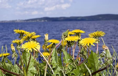 onega: Dandelions on a background of Onega Lake, Russia