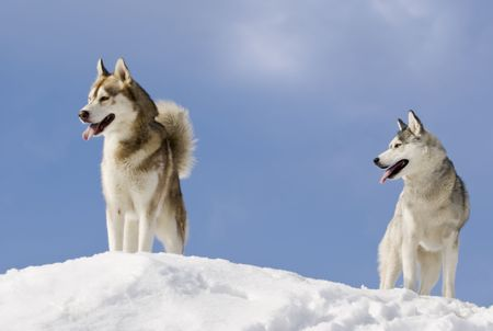 blue eye husky: Two siberian husky stands at snow mountain top